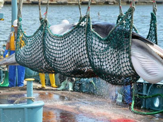 Япония, «наплевав» на мир, начала бойню китов