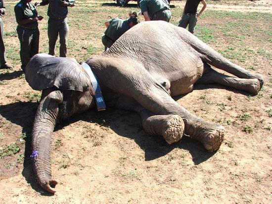 «В хобот установили датчик»: ученые выяснили, что снится слонам