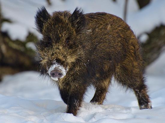 Необычные факты о символе года: боевые свиньи и московские кабаны