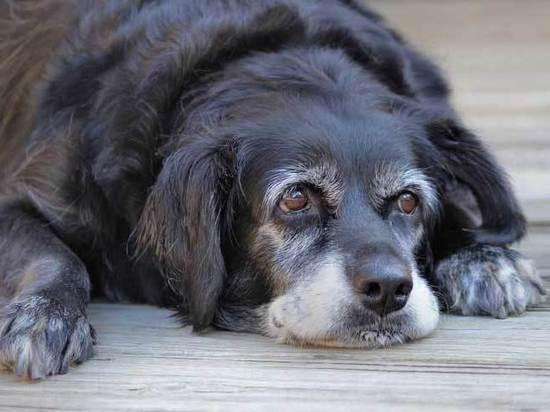 Как продлить «пенсионный возраст» собаки
