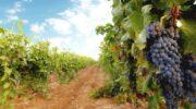 Сбор урожая винограда в 2021 году. Аномальности погоды 2021 года – засуха в начале лета